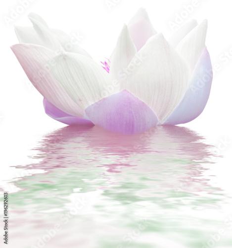 Obraz lilia wodna rozowy-pak-lilii-wodnej
