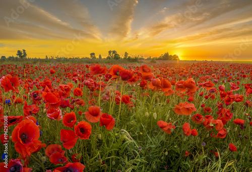 Plakat czerwone dzikie maki w świetle wschodzącego słońca