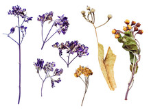 Top View Of Pressed Wild Flowers Isolated On White Background. Herbarium Of Dried Plants