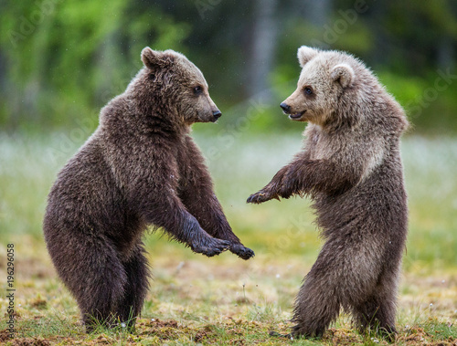Two cubs play with each other. Summer. Finland.  Wall mural
