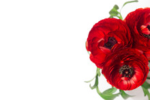 Luxury Deep Red Flowers Closeup With Copy Space On White Background. Romantic Spring Holidays Backdrop.