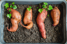A Sweet Potato With New Shoots...