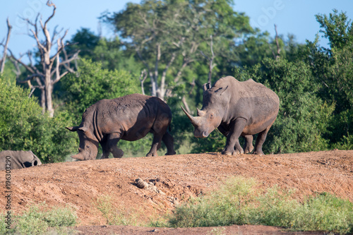 Foto op Plexiglas Afrika White rhino walking towards the camera in the Kruger National Park, South Africa.