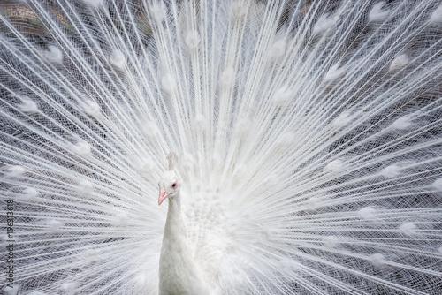 Fototapeta premium White peacock showing off his bright tail