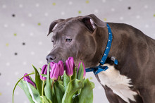 Staffordshire Terrier Potrait At Studio