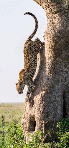 Leopard jumps from tree to earth. National Park. Kenya. Tanzania. Maasai Mara. Serengeti. An excellent illustration.