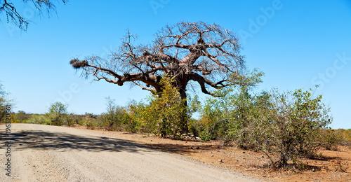 In de dag Baobab in south africa street and baobab