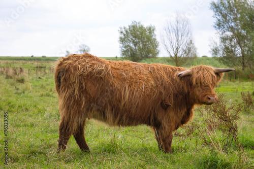 Recess Fitting Buffalo Galloway Rind auf der Weide