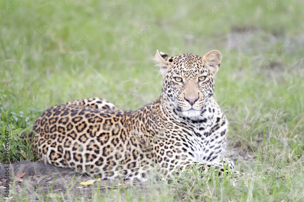 Leopard (Panthera pardus) lying down in grass, Masai Mara, Kenya.