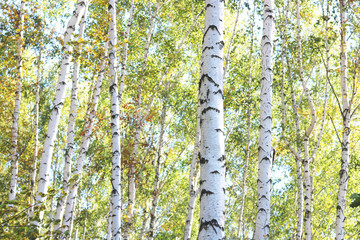 FototapetaBeautiful birches in forest in early autumn