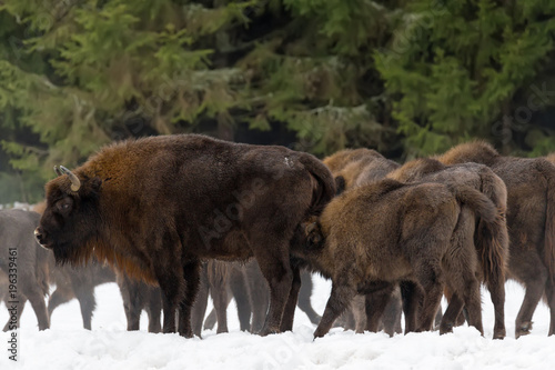 Fotografia, Obraz  Calf and Mother Of Wild European Brown Bison ( Bison Bonasus ) In Winter Pine Forest