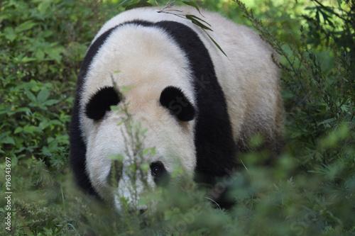 Poster Panda Giant Panda in bush