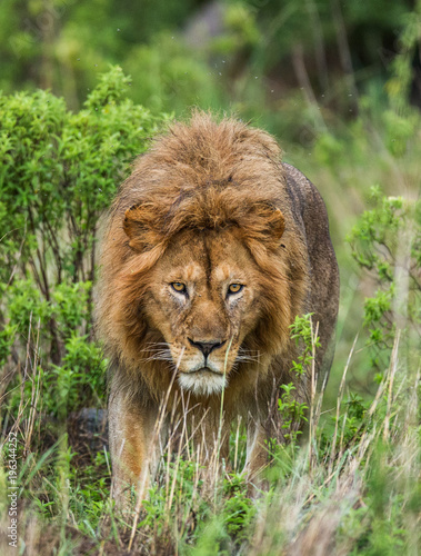 Staande foto Leeuw Portrait of the big male lion in the grass. Serengeti National Park. Tanzania. An excellent illustration.