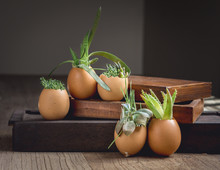 Succulents In Eggshells And Bo...