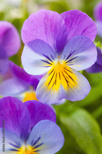 Papiers peints Pansies beautiful pansy summer flowers in garden