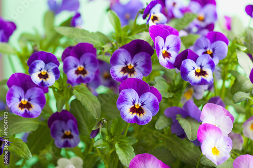 Deurstickers Pansies beautiful pansy summer flowers in garden