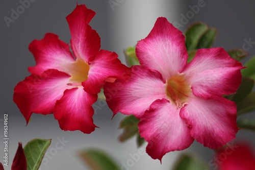 Papiers peints Azalea A flower is pink, it beautiful is a lot of, the people likes to grow is the garden tree within house area.