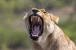 Female lion yawning in Sabi Sands GR part of the greater Krugerpark in South Africa
