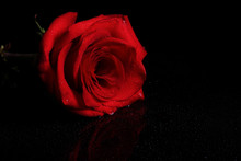 Red Rose On A Black Background With Drops Of Water. Place For Inscription