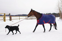 Black Labrador Dog Walking On A Snow And Holding A Horse On A Lead In Winter