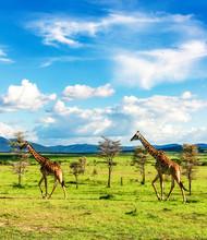 Groupe Of Giraffes Walking In African  Savannah In Masai Mara National Reserve