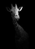 Śmieszna żyrafa pokazuje jęzor. Dzikie zwierzę odizolowywający na czarnym tle. Czarno-białe zdjęcie z afrykańskim mieszkańcem. - 196371416