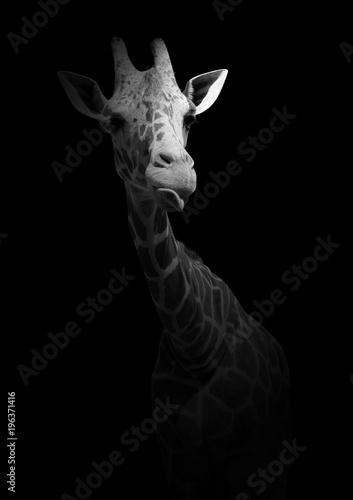 Naklejka premium Śmieszna żyrafa pokazująca język. Dzikie zwierzę na białym tle na czarnym tle. Czarno-białe zdjęcie z afrykańskim mieszkańcem.