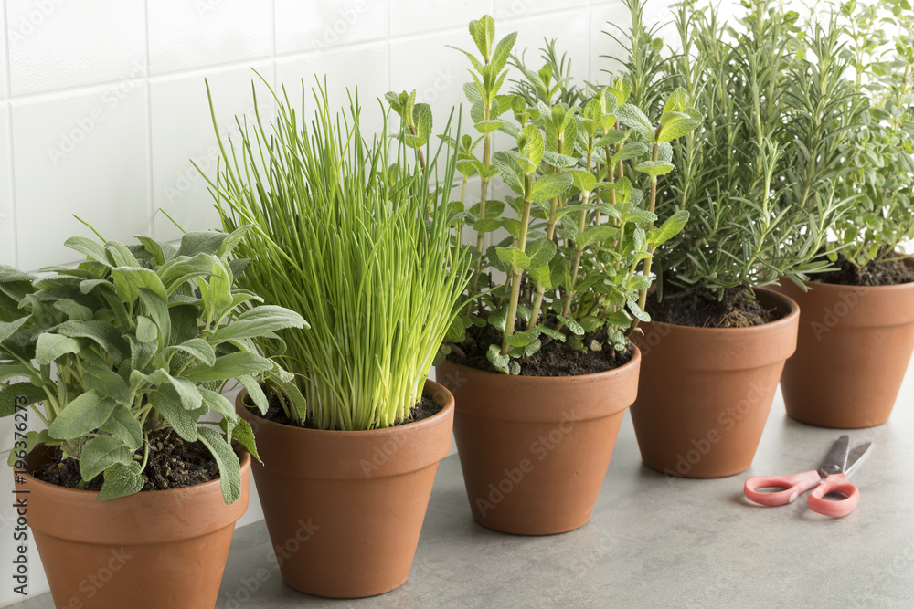 Fototapety, obrazy: Row of brown terracotta pots with fresh herbs