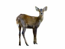 Deer Isolated Standing With White Background, Thailand.