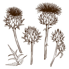 Set Of Decorative Onopordum Acanthium. Scottish Thistle