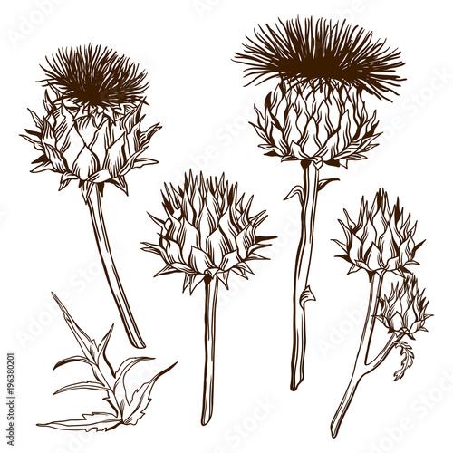 Obraz na plátne Set of decorative onopordum acanthium. Scottish thistle
