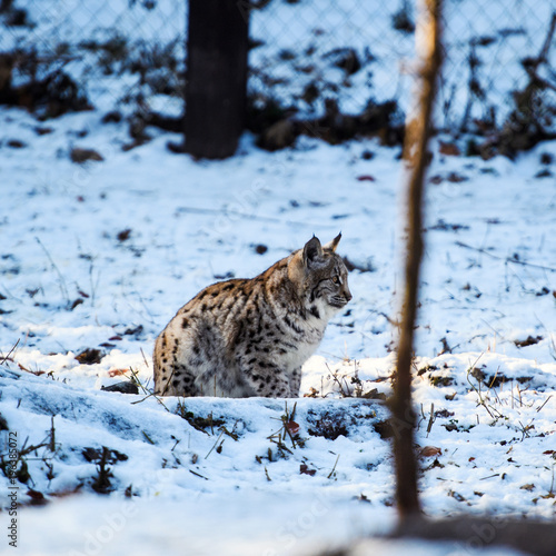 Fotobehang Lynx lynx on the snow