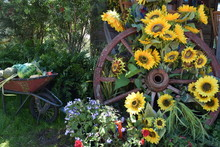 Sunflowers On Wagon Wheel In Farm Setting, Summer Day.