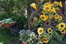 Sunflowers On Wagon Wheel In F...