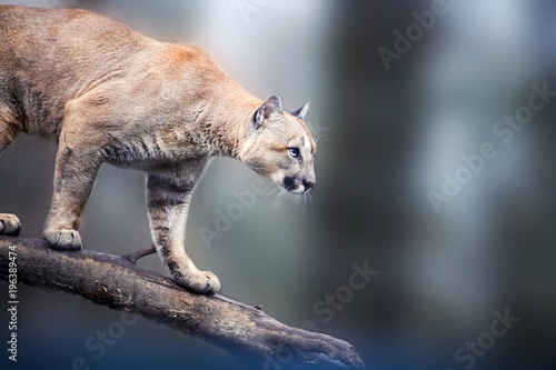 Photo sur Toile Puma Mountain lion , cougar, puma portrait.