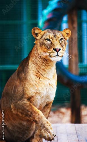 Fotobehang Leeuw Portrait of an African lioness (Panthera leo)