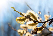 Willow Branches With Buds. Bea...