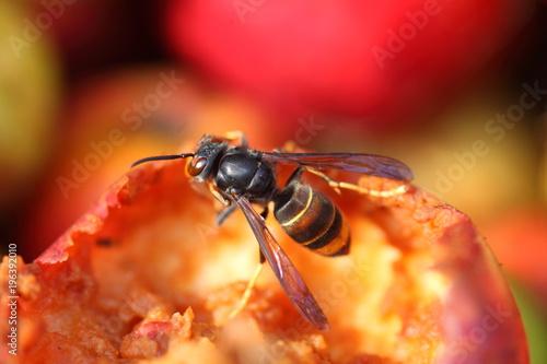 Fotografia, Obraz  frelon asiatique