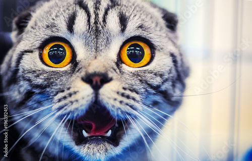 Fotografia, Obraz  Cute shocked cat