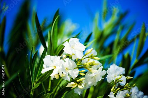 Photo sur Aluminium Frangipanni beautiful spring flowers