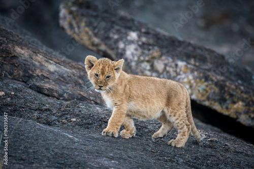 Fotografie, Obraz  Lion cub on a rock
