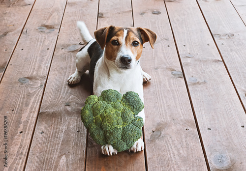 Adorable young jack russell dog lying with fresh green broccoli and looking at camera. Health food for pet concept