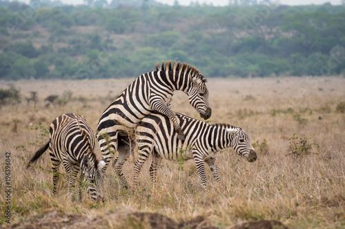Zebras Mating Kaufen Sie Dieses Foto Und Finden Sie ähnliche