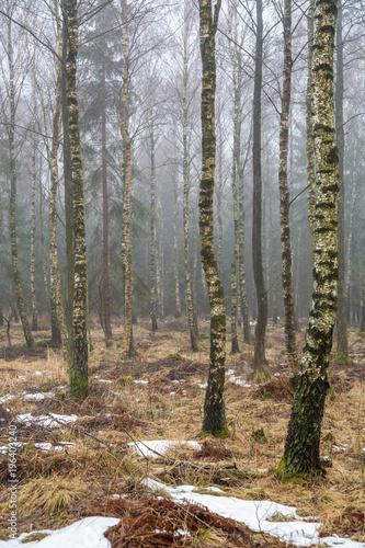 Foto auf Acrylglas Wald im Nebel Trädstammar i en björkskog på vintern