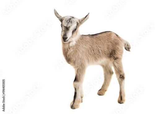 little goatling