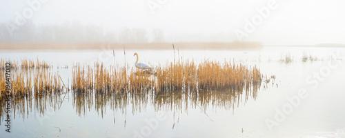 Naklejka premium Swan in a foggy lake lake in sunlight in winter