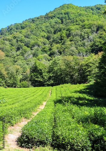 Poster Lime groen Beautiful landscape of blue sky, mountains and tea plantation