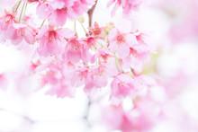 Pink Cherry Blossom(Cherry Blo...