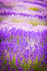 Fototapeta Lawenda Lavender fields in England, UK