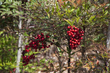 Coffs Harbour Australia, Nandina Domestica Shrub With Bunch Of Ripe Red Berries